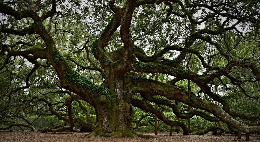 Angel Oak Photograph - Angel Oak by Steven Liveoak