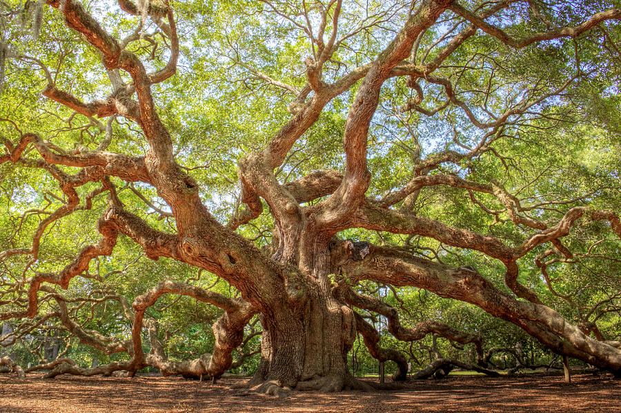 Ancient Photograph - Angel Oak Tree by Drew Castelhano