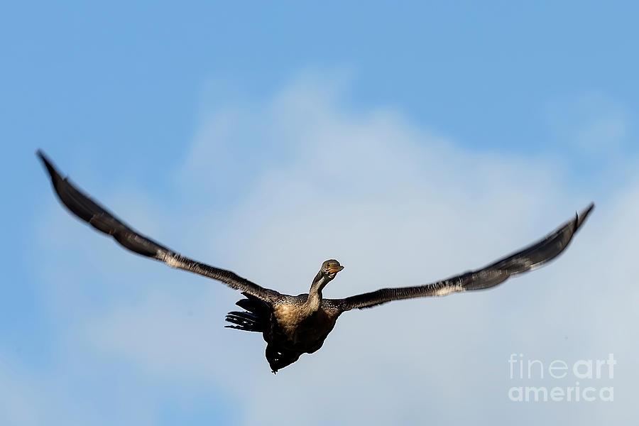 Anhinga Photograph - Anhinga In Flight by Rodney Cammauf