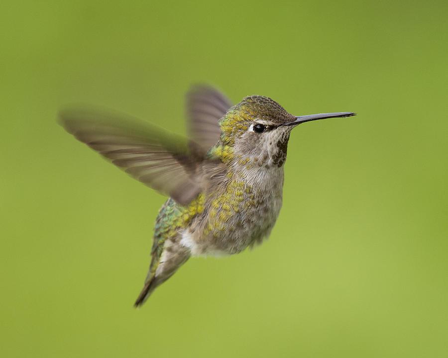 Birds Photograph - Annas Hummingbird by Doug Herr
