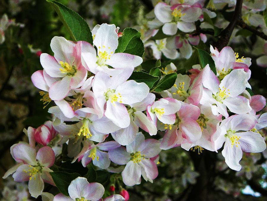 Western North Carolina Photograph - Apple Blossoms  by Cindy Gacha