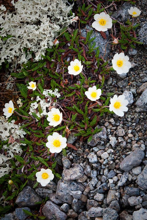 Moss Photograph - Arctic Flowers by Konstantin Dikovsky