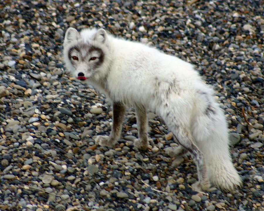 Arctic Fox Photograph - Arctic Fox by Anthony Jones