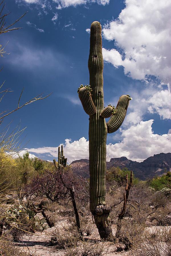 Arizona Cactus by David Palmer