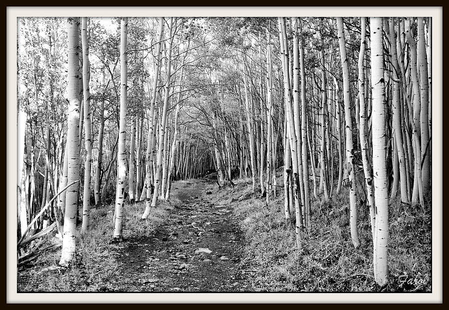 Aspen Photograph - Aspen Forest by Farol Tomson
