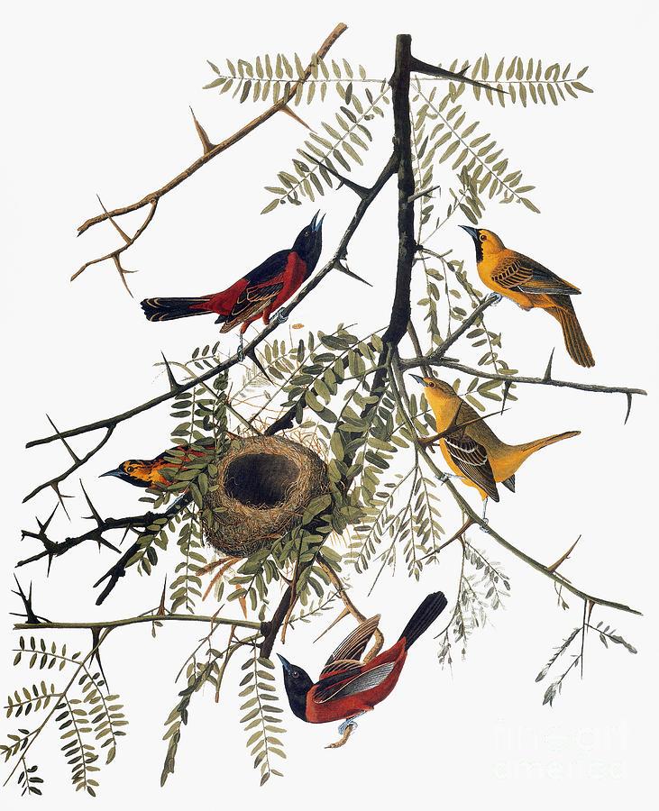 1838 Photograph - Audubon: Oriole by Granger