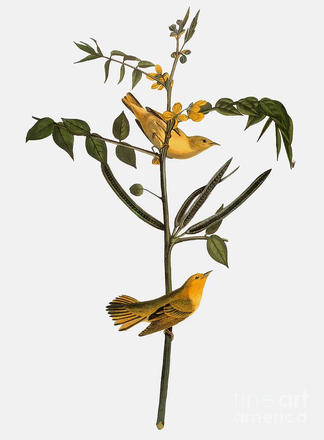 1827 Photograph - Audubon: Warbler, 1827-38 by Granger
