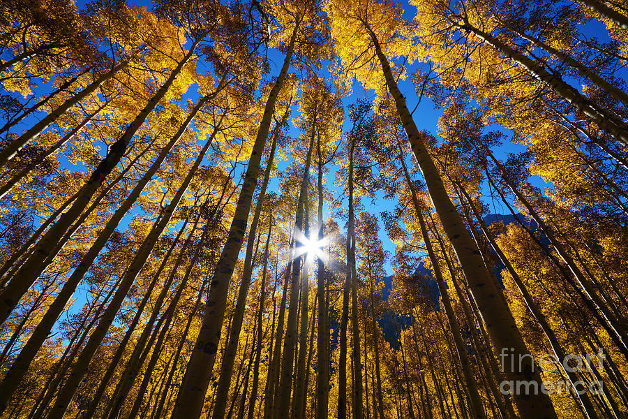 Autumn Aspens by Kate Avery