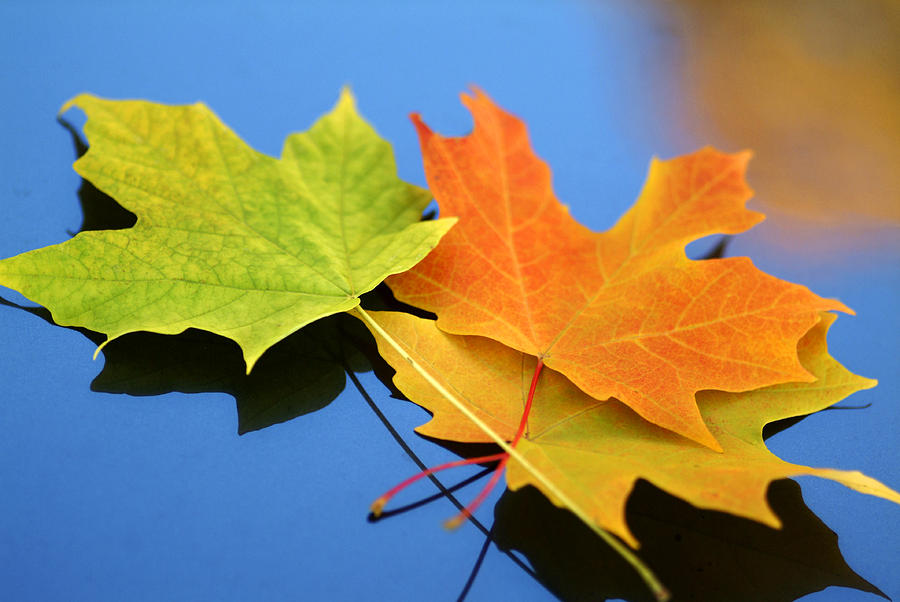 Leaf Photograph - Autumn Leaves - Foliage by Dmitriy Margolin