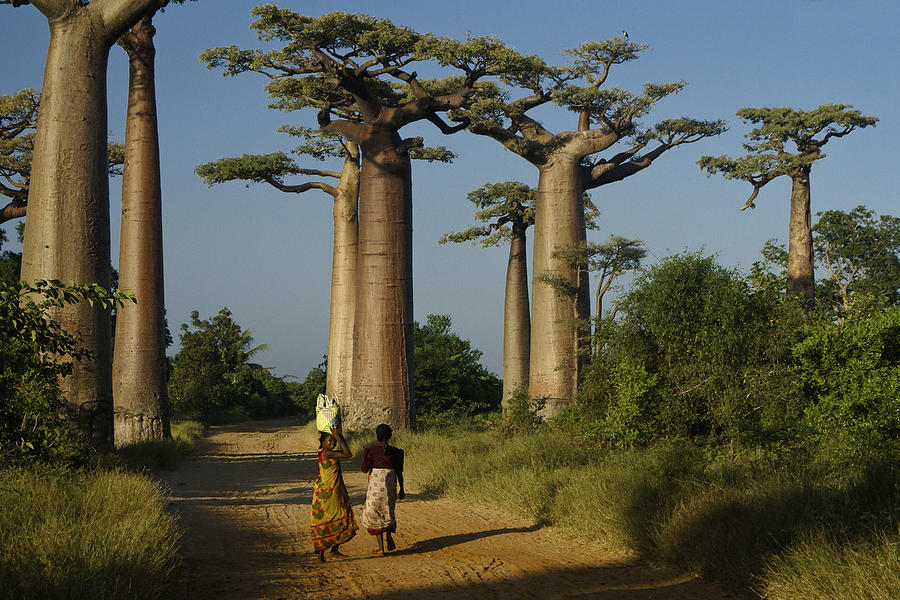 Madagascar Photograph - Avenue Des Baobabs by Michele Burgess