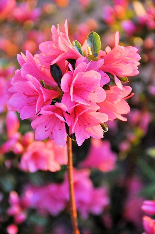 Floral Photograph - Azalea Petites by Jan Amiss Photography