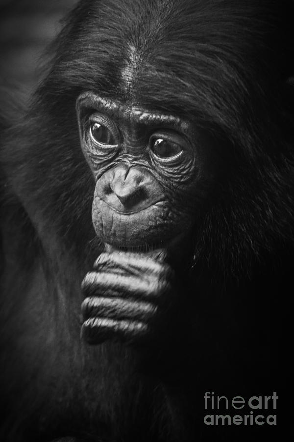 Baby Bonobo Portrait Photograph