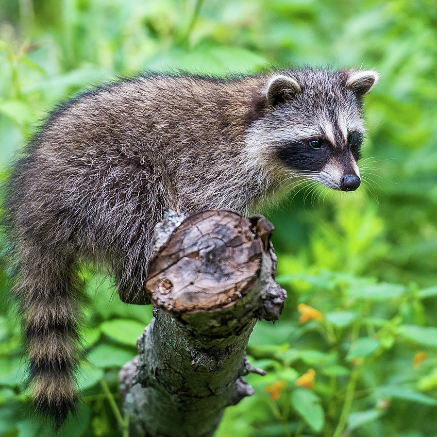 baby racoon photograph by paul freidlund