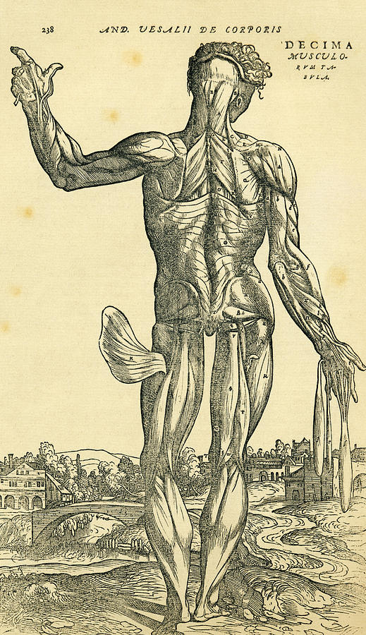 Back Of Male Human Body Anatomical Drawing By Vintage Design Pics