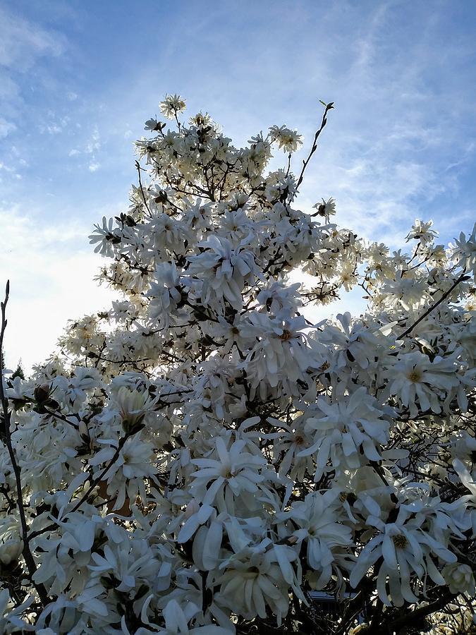 Backlit Star Magnolia Tree Photograph By Darrell Maciver