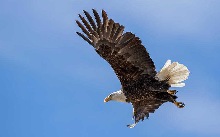 Bald Eagle In Flight by Vicki Stansbury