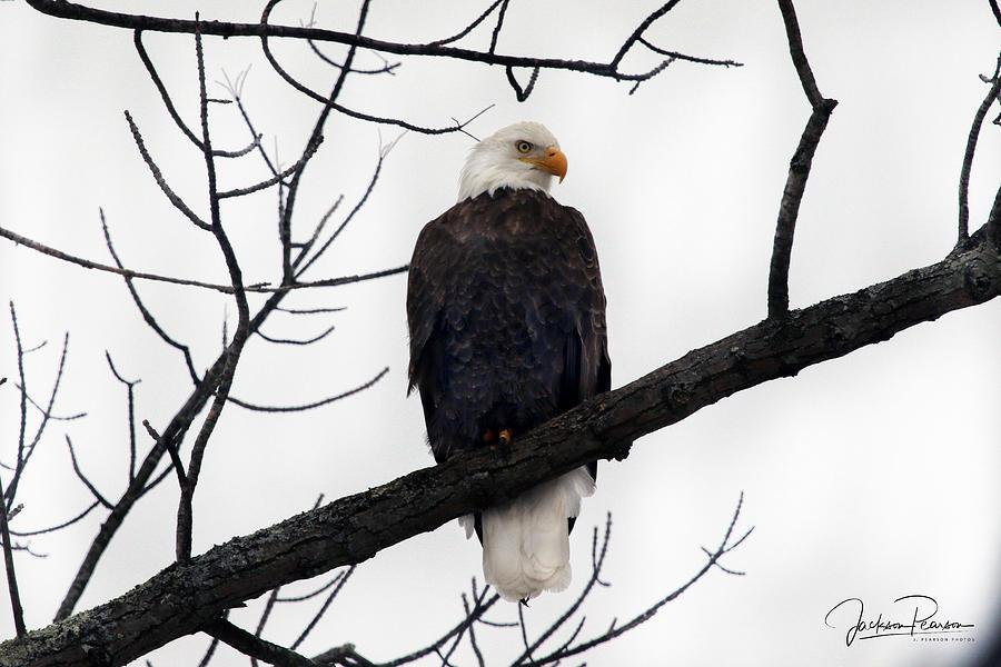 Bald Eagle by Jackson Pearson