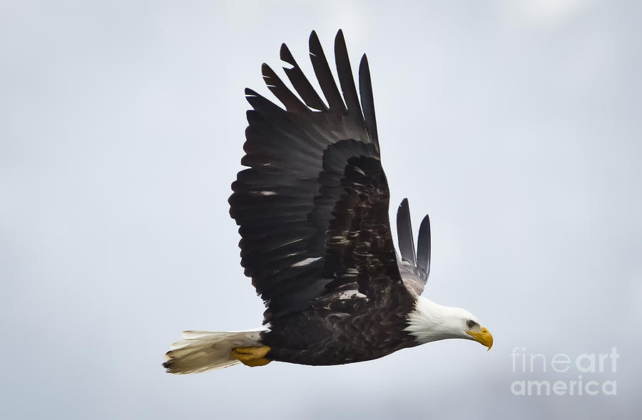 Canon Photograph - Bald Eagle by Ricky L Jones