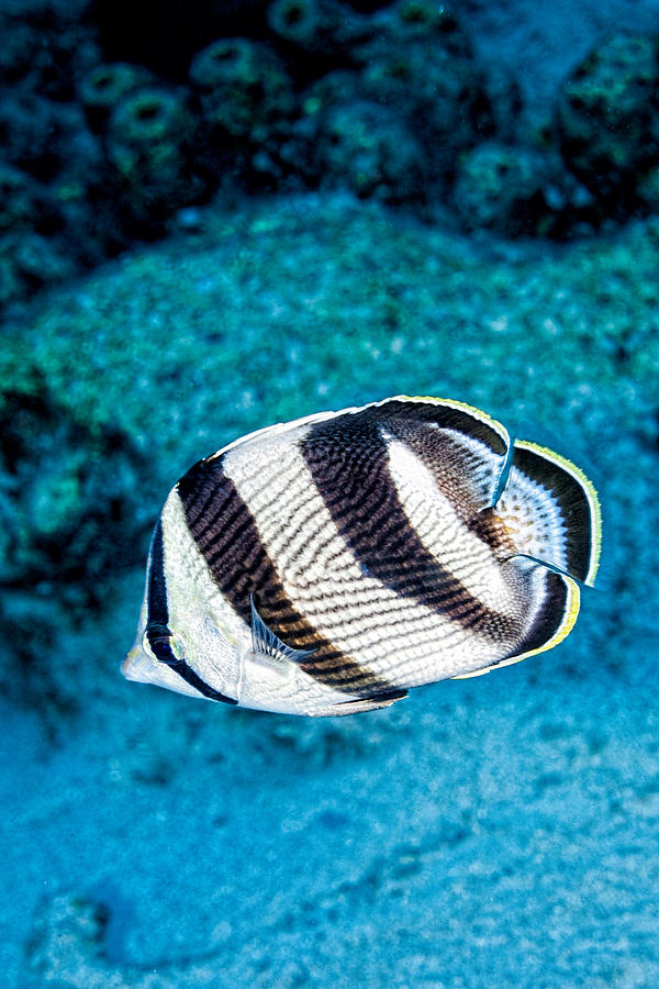 Banded Butterflyfish by Perla Copernik