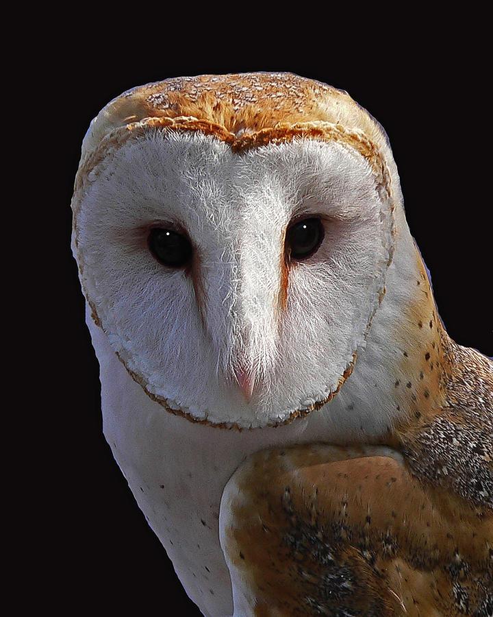 Barn Owl Photograph - Barn Owl by Larry Linton