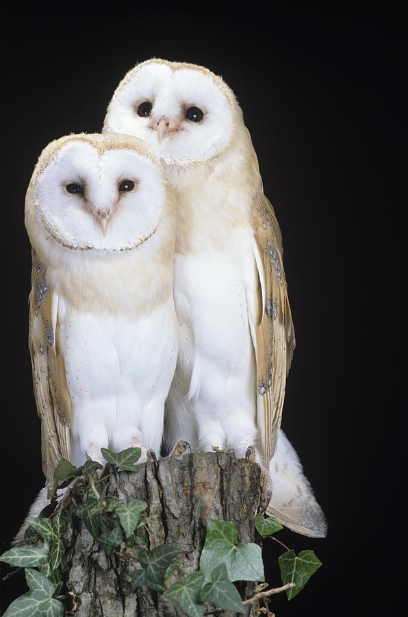 Barn Owl Photograph - Barn Owls by David Aubrey