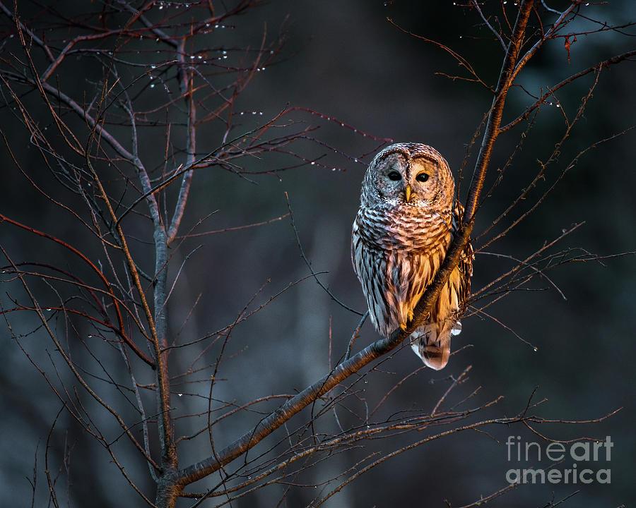 Bailey Island Photograph - Barred Owl by Benjamin Williamson