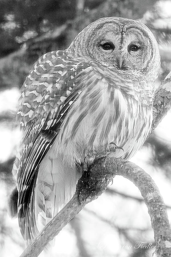 Wildlife Photograph - Barred Owl by Sharon Fiedler