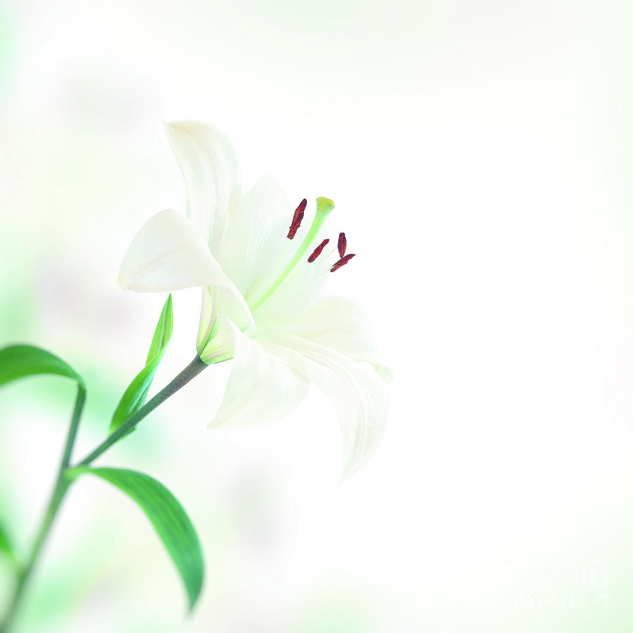 Beautiful lily flower photograph by anna om background photograph beautiful lily flower by anna om izmirmasajfo