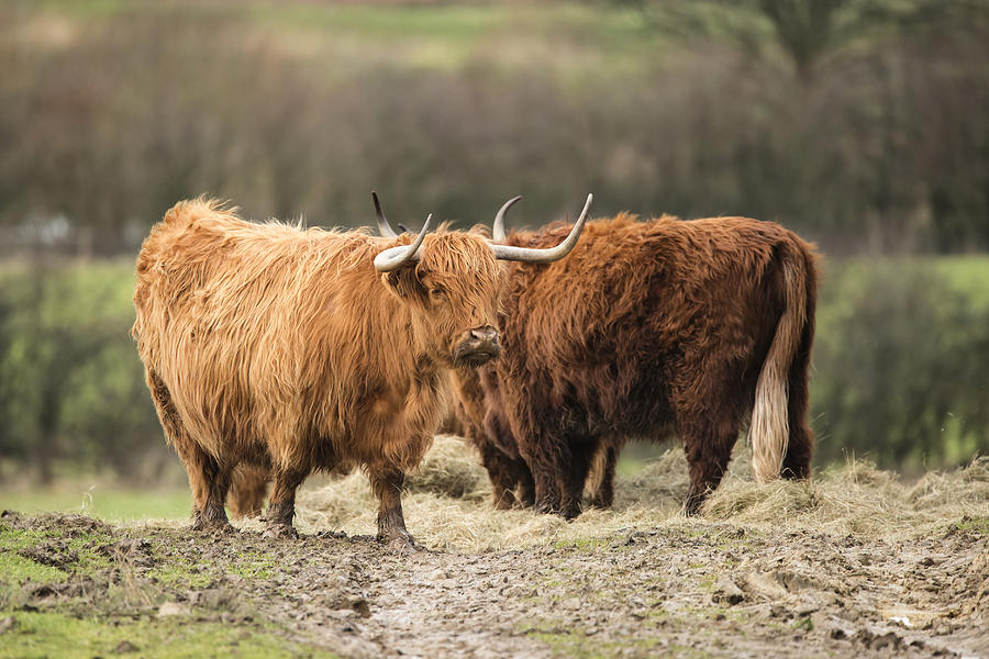 Beautiful Scottish Highland Cattle grazing in farm field ...