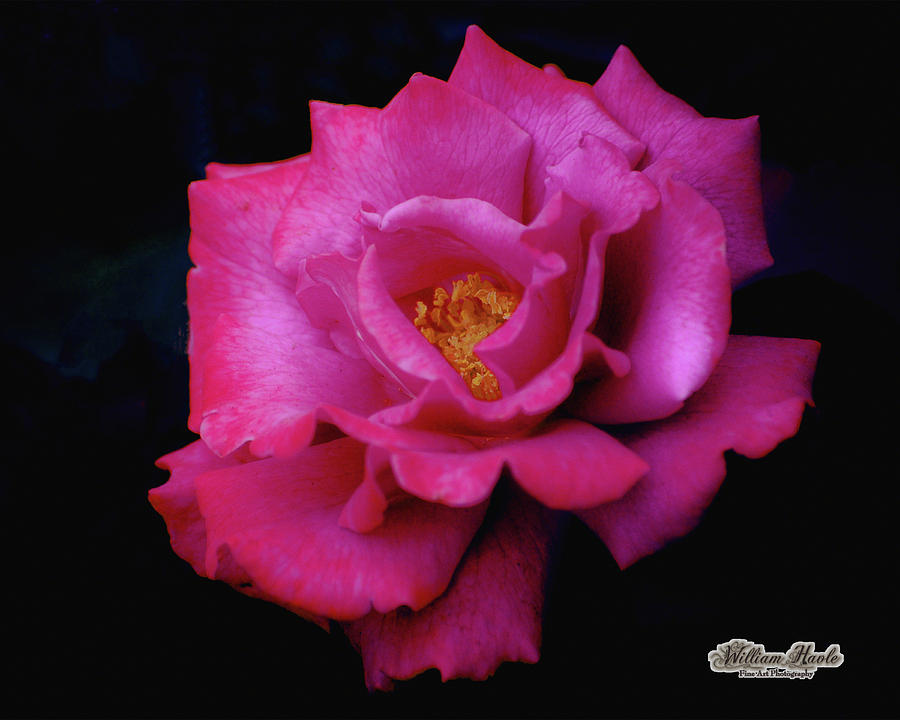 Beauty In A Rose by William Havle