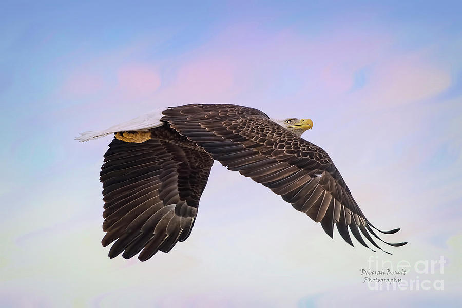 Eagle Photograph - Beauty In Flight by Deborah Benoit
