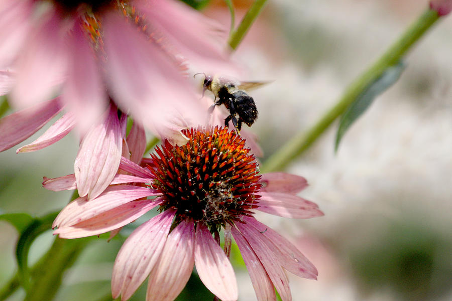 Bee Photograph - Bee Leaving Flower by Lita Kishbaugh
