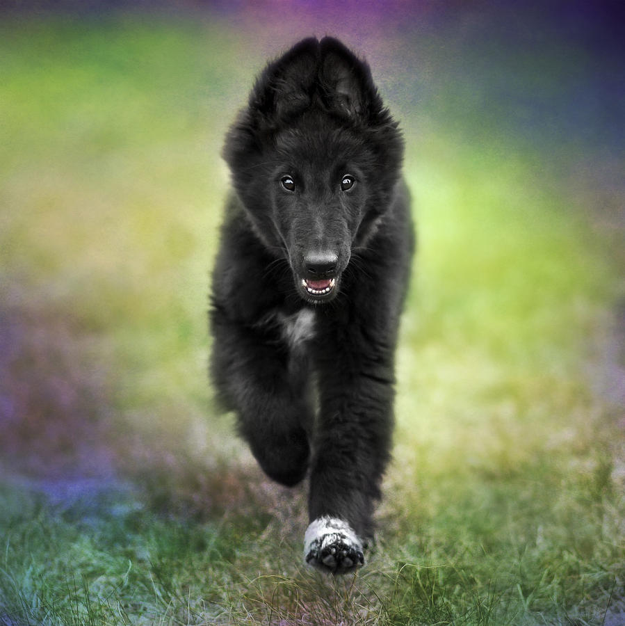 Belgian Sheepdog Puppy Photograph By Wolf Shadow Photography
