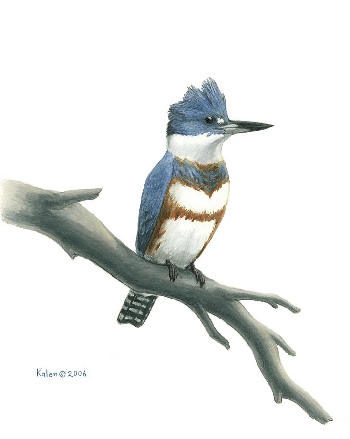 Kingfisher Drawing - Belted Kingfisher Perched by Kalen Malueg