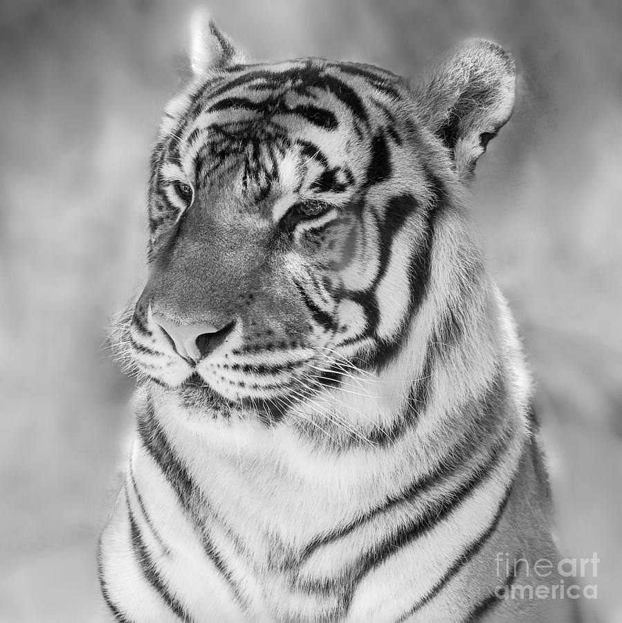 Bengal Tiger Jasmine  by Peggy Franz