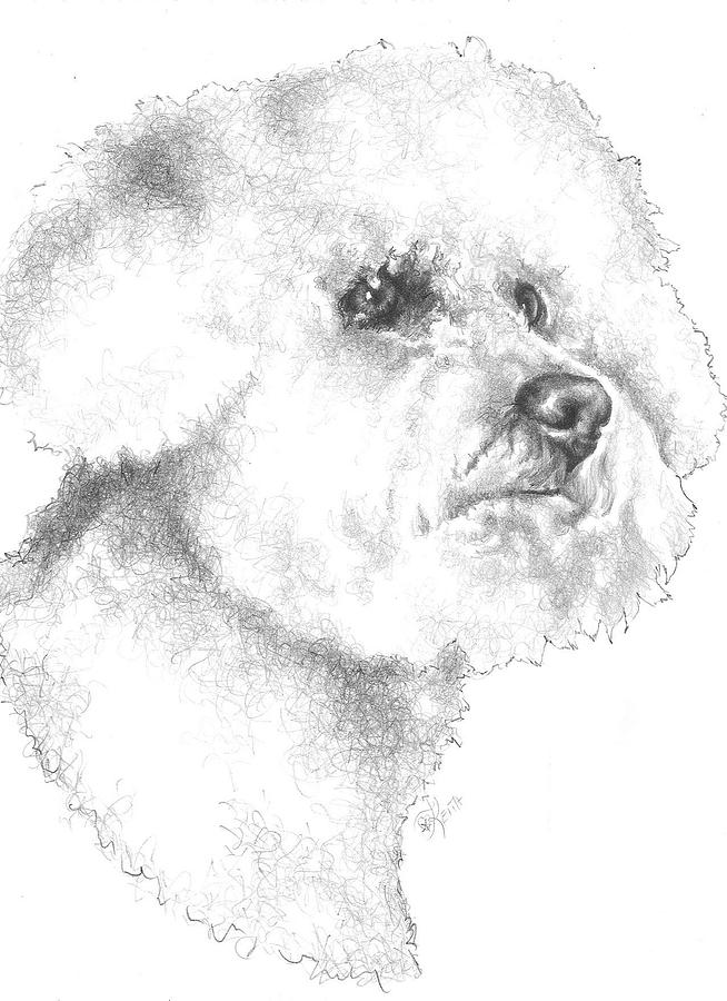 Bichon Drawing - Bichon Frise by Barbara Keith