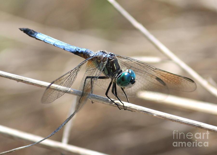 Dragonfly Photograph - Big Blue by Carol Groenen