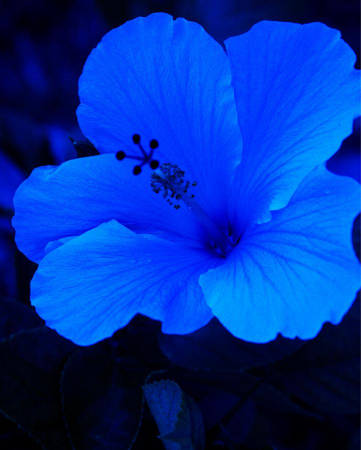 Big Blue Hibiscus Photograph By Florene Welebny