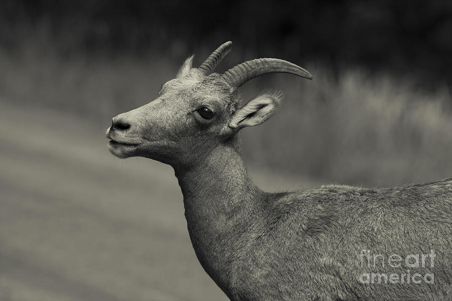 Wildlife Photograph - Big Horn Sheep by Barbara Schultheis