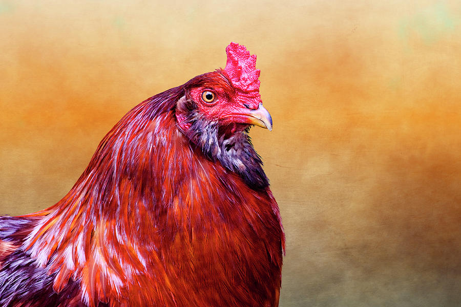 Rooster Photograph - Big Red Rooster by Carol Leigh
