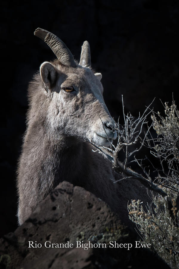 Bighorn Photograph - Bighorn Ewe by Britt Runyon