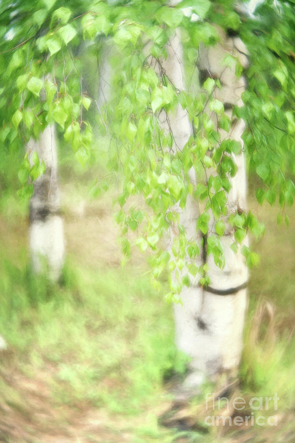 Green Photograph - Birch In Spring by Priska Wettstein