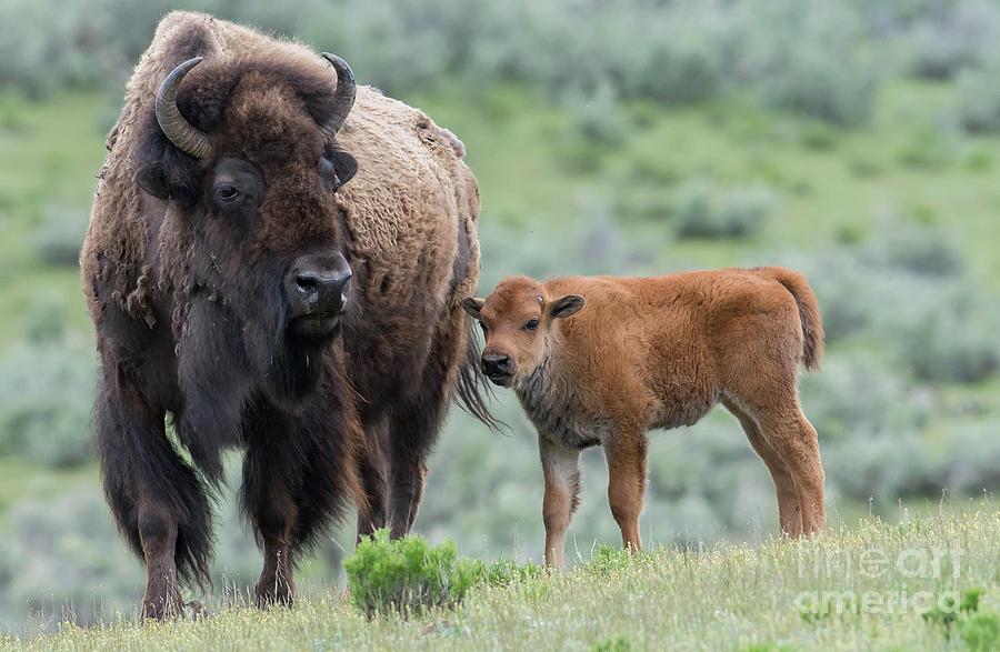 Bison by Brad Schwarm