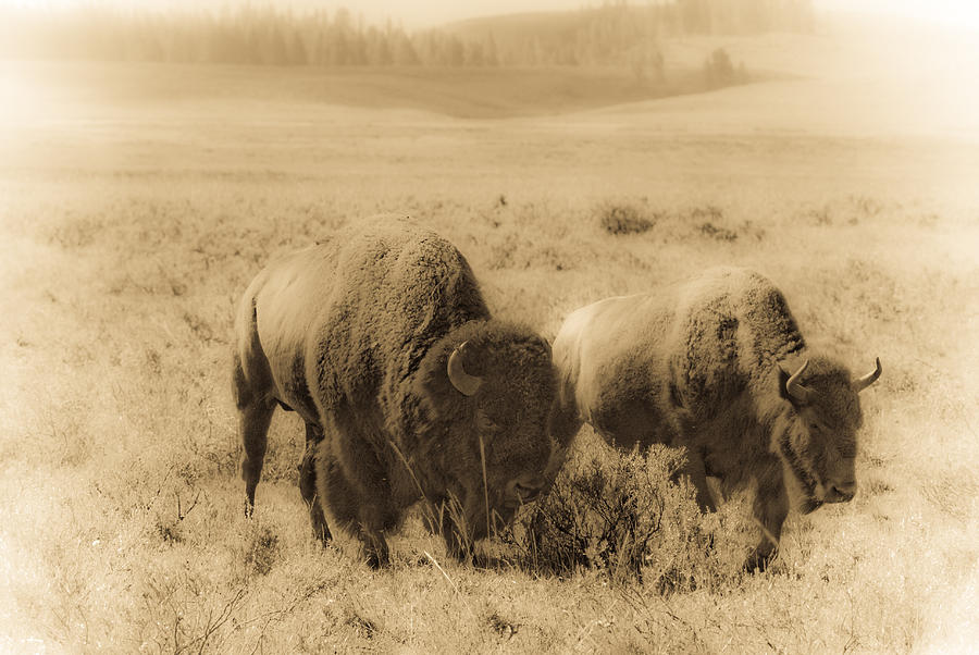 Bison Photograph - Bison Pair by Patrick  Flynn