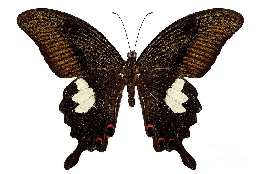 Indonesia Painting - Black And Brown Butterfly Species Papilio Nephelus by Pablo Romero