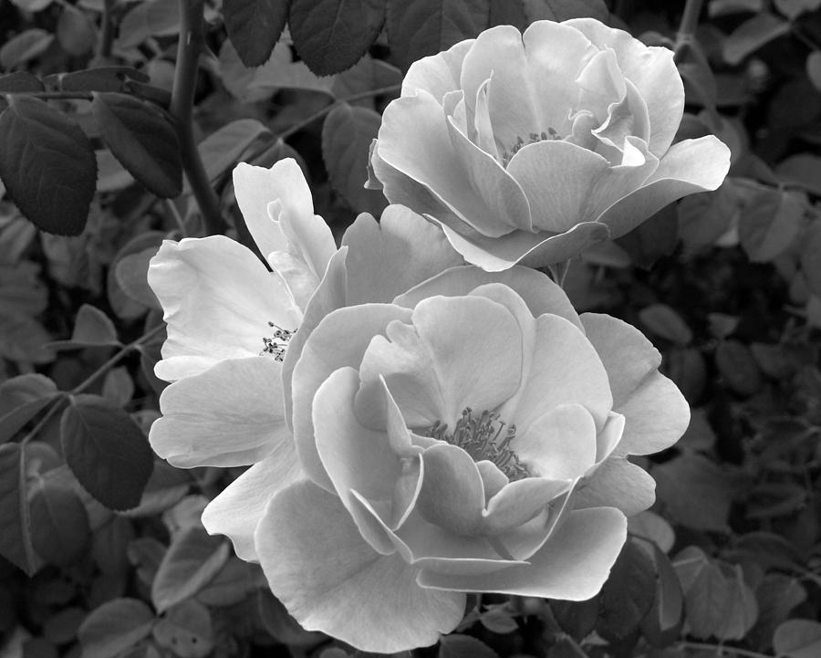 d7dfaa481 Black And White Roses 2 Photograph by Amy Fose