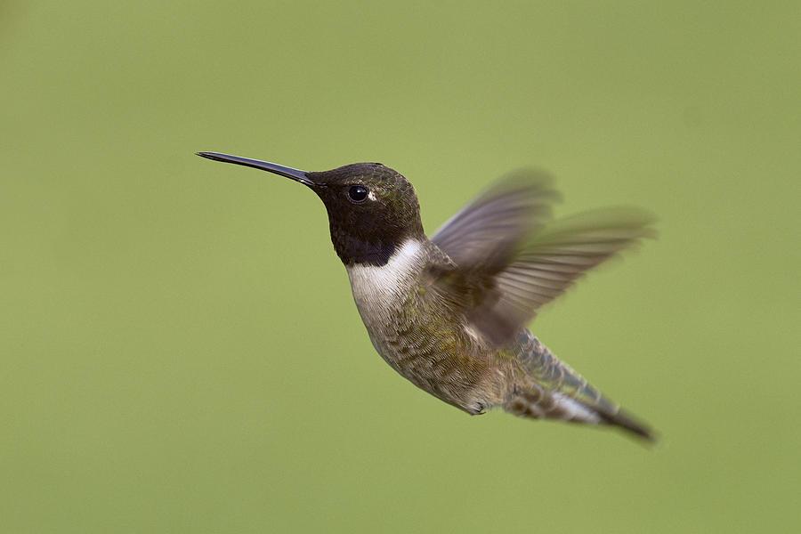 Black-chinned Hummingbird Photograph by Doug Herr