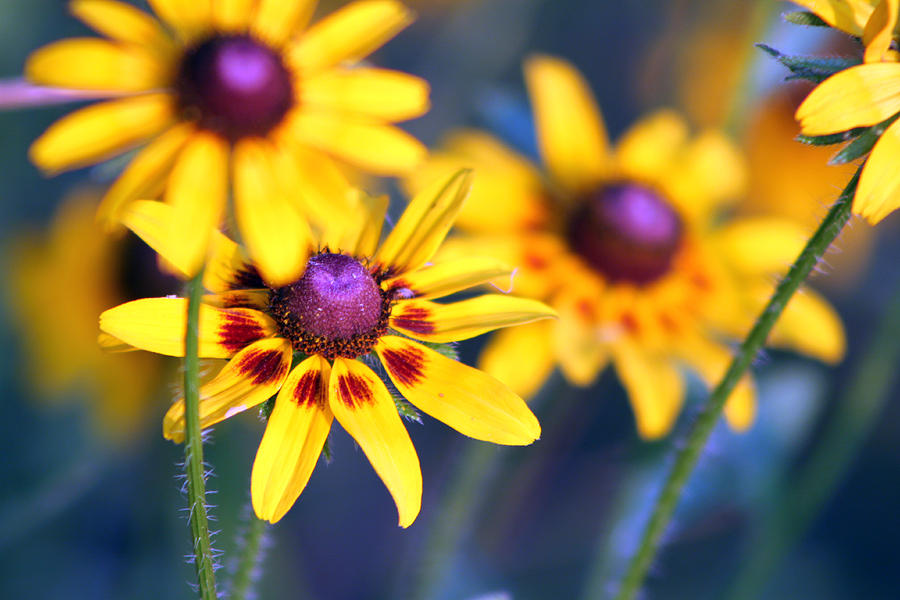 Flower Photograph - Black Eyed Susans by Evelyn Patrick