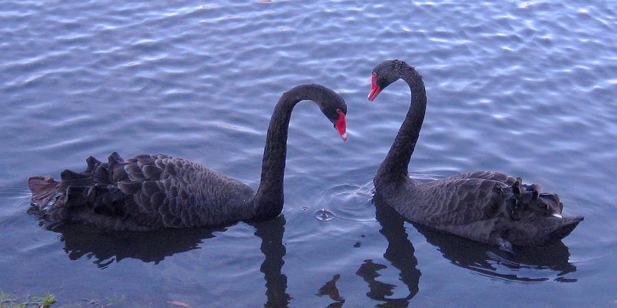 Birds Photograph - Black Swans In Love by Joel Cohen