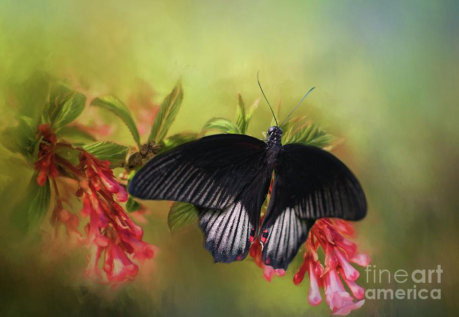 Butterfly Photograph - Black Velvet by Eva Lechner